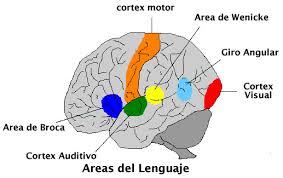 cerebro lector